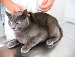 cijepljenje mačaka