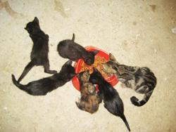 Sisa i sisanje maca